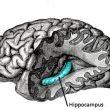 Augmenter les échanges hippocampe-cortex améliore la mémoire