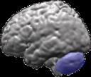Cervelet (en bleu) et lobes cérébraux du cerveau humain