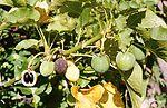 Fruits de Jatropha curcas - Rendement: 1892litres d'huile/ha/an en moyenne