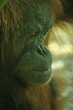 Le d�veloppement exponentiel des cultures de palmier � huile en Malaisie et en Indon�sie et la destruction corr�lative des for�ts constitue une grave menace pour l'Orang-outan, une esp�ce au bord de l'extinction