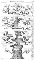L'arbre du vivant selon Ernst Haeckel (1874). L'Homme est en haut, au centre.