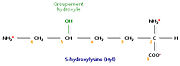 Un acide aminé fréquent dans le collagène, la 5-hydroxylysine