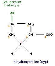 Un acide aminé fréquent dans le collagène, la 4-hydroxyproline