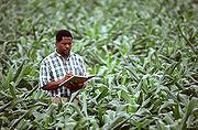 Agronome mesurant la pousse du ma�s et d'autres donn�esAgricultural Research Service, D�partement d'agriculture