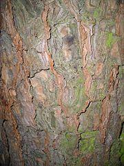 Écorce d'un arbre