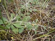 stolon de Hieracium pilosella