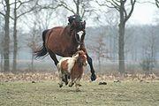 Taille compar�e entre poney et cheval de selle