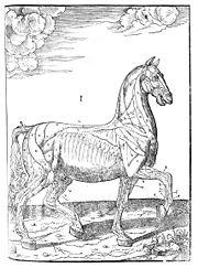 Musculature du cheval.