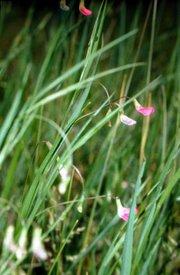 Lathyrus nissolia