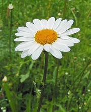 Capitule de marguerite: les fleurons ligulés simulent des pétales blancs