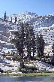 Tsuga mertensiana (Pruche subalpine) en Californie, Sierra Nevada