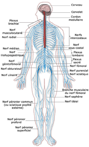 Schéma du système nerveux humain.