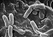Pseudomonas aeruginosa vue au microscope �lectronique � balayage, est une bact�rie pathog�ne et fr�quemment rencontr�e dans les infections nosocomiales.