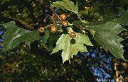 Fruits de l'Alisier torminal