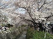 Floraison des cerisiers au printemps à Ky?to.
