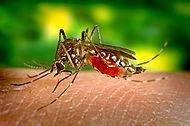 Aedes aegypti bloodfeeding CDC Gathany.jpg
