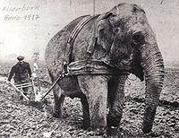 Lors de la 1ère Guerre mondiale alors que les chevaux sont à la guerre
