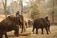 Des éléphants asiatiques à l'entraînement en Thaïlande.