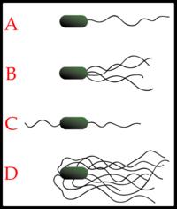 Différentes organisations des flagelles bactériens: A-Monotriche; B-Lophotriche; C-Amphitriche; D-Péritriche;
