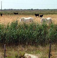 taureaux et chevaux en Camargue