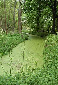 Les eaux lentes pollu�es par les nitrates sont propices au d�veloppement des lentilles