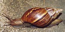 Un gros escargot à la coquille en spirale pointue, de couleur brun strié
