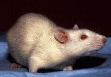 Un rat blanc aux yeux rouges, albinos, vu de profil