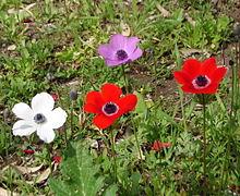 Fleurs de différentes couleurs unies, au cœur couronné d'étamines noires