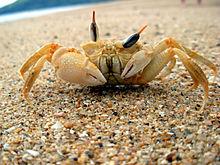 Crabe jaune, dressé sur ses pattes sur une plage, aux yeux au-dessus de la tête et aux pinces dissymétriques