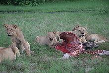 Lionnes entourant une carcasse