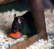 Un rongeur noir vu de profil et mangeant une carotte