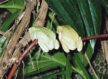 Deux grenouilles vert pâle, de dos, accrochées à une branche