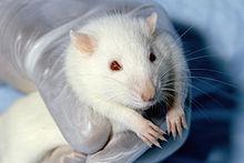 Un rat blanc