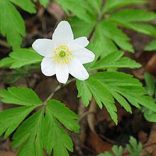 fleur à 7 pétales ovales blancs et au coeur vert entouré d'étamines jaunes
