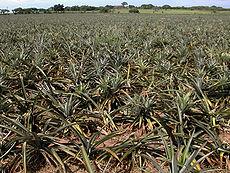 Champs d'ananas dans l'État du Veracruz, au Mexique