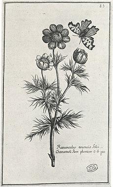 Ranunculus arvensis, tirée de l?Histoire des plantes qui naissent aux environs d'Aix (1715).