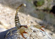 Crise écologique: les scorpions auraient la faculté de survivre aux radiations de l'hiver nucléaire.