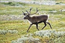 Un renne dans son habitat naturel