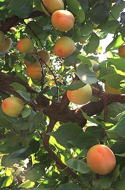 Fruits du Prunus armeniaca, les abricots