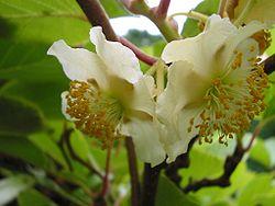 Fleurs d'actinidia sinensis