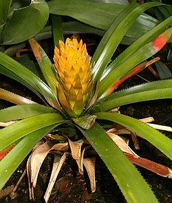 Aechmea biflora
