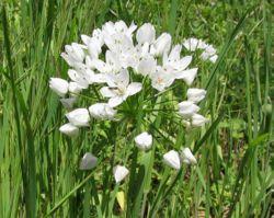 Allium neapolitum