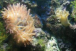 Anémone de mer au zoo de Bristol