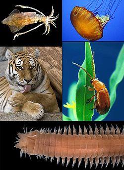 Dans le sens horaire:Loligo vulgaris, Chrysaora quinquecirrha, Aphthona flava, Eunereis longissima, et Panthera tigris représentant la diversité animale