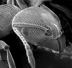 Tête de fourmi vue au MEB