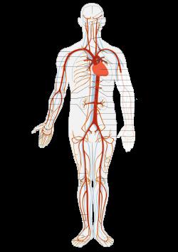 Arterial System en.svg
