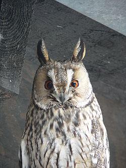 Hibou moyen-duc (Asio otus)