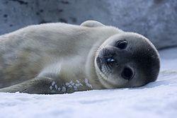 Bébé Phoque de Weddell en Antarctique