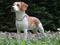 Beagle Upsy.jpg