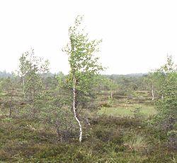 Betula pubescens dans une tourbière